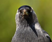 Mr. Corvus monedula Royalty Free Stock Images