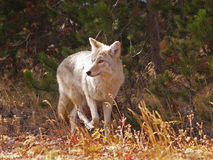 Mr. Coyote Royalty Free Stock Image