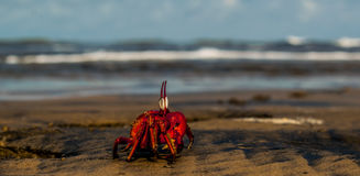 Mr.Crab. A crab running towards the sea Royalty Free Stock Photos