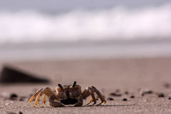 Mr. crab ?. Crab walking on the beach royalty free stock photography