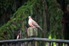 The Mourning Dove stock photos