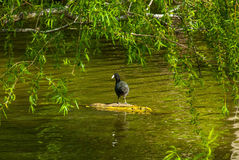 Mr. Duck enjoying te day. Royalty Free Stock Photos