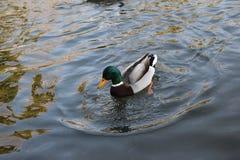 Mr.duck, pond, wild nature, winter. I saw this duck genteman last week in my favorite park. wild nature, duck, winter, watter, red leg, green head, wildnature stock image