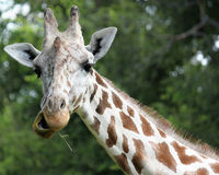 Mr. Giraffe. An image of a giraffe chewing grass Royalty Free Stock Images