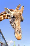 Mr. Giraffe says hello!. A friendly giraffe wants some food Royalty Free Stock Image