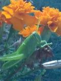 Mr. Grasshopper. Bright green grasshopper stock photography