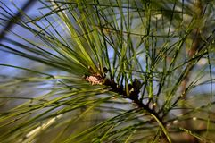 Mr Greenley. Long leaf pine against deep blue sky background taken in the Blue Ridge Mountains North Carolina USA royalty free stock image
