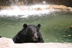 Mr Grizzly Bear stock image