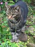 Mr Horatio. Tabby cat, keen eye Stock Image