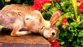 mr kanin Arkivbild