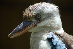 Mr. Kookaburra. A closeup shot of a kookaburra Royalty Free Stock Photo