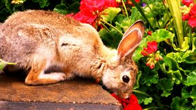 mr królik Fotografia Stock