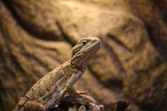 Mr Lizard waiting for some nice insects. And it is soon food time. Feed Me he says Royalty Free Stock Photo