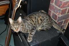 Mr Loki. A beautiful boy with bengal blood just chillin with the music equipment stock photography