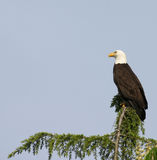 Mr Majestic. Eagle perched on the top of tree stock photo