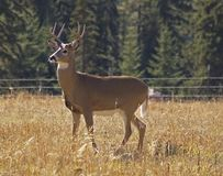 Mr. Majestic Whitetail Buck. This image of the whitetail buck was taken in western MT on the first day of hunting season.  I chose to shoot with a camera Royalty Free Stock Photos