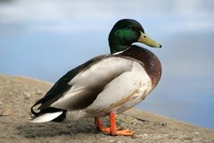 Mr Mallard. Mallard duck deciding whether to swim Stock Photo