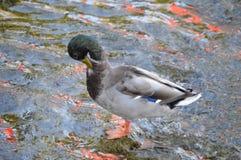 Mr Mallard kaczki natryskiwanie Obrazy Stock