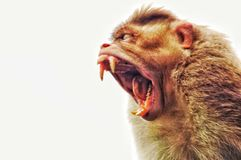 When Mr Monkey yawns like this... I had been to a waterfalls in India where i saw some monkeys have food given by the tourists. And I saw this monkey yawning Royalty Free Stock Photo