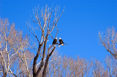 Mr.&mrs. bald eagle. Two mature bald eagles on one branch Royalty Free Stock Images
