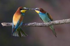 Mr & Mrs Bee eater