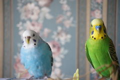 Mr. and Mrs. Budgie. Blue female and green male budgies together Royalty Free Stock Photography