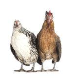 Mr. and Mrs. chicken Royalty Free Stock Photos
