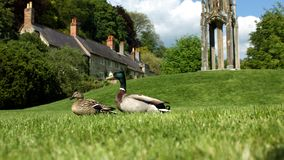 Mr and Mrs Mallard Royalty Free Stock Images