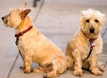 Mr.&mrs.scotty. Two matching yellow blonde scotty type dogs sitting on a sidewalk one facing the camera one portrait Royalty Free Stock Images