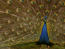Free Mr. Peacock Royalty Free Stock Image - 1120426