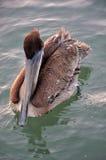 MR pelikan Zdjęcie Royalty Free