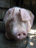 Mr Piggy. Nice and lazy pig resting under the afternoon sun Stock Photography