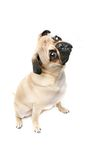Mr. Pug. Pug tilting his head. Isolated on white Stock Photography