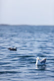 Mr seagull Obrazy Royalty Free