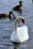 Mr Swan. Ugly duckling metamorphosis on the lake stock photos