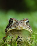 Mr. Toad. A close encounter with a toad in Ontario, Canada. I think he rather enjoyed having his portrait taken stock images
