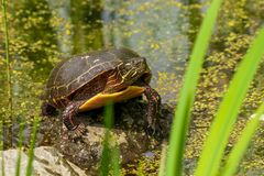 Mr. Turtle home at Montreal Botanical garden. Pleasant to see rebirth of nature at Spring in our garden. Here, at Montreal Botanical garden ponds stock photography