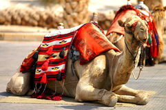 Mr. vintage camel 1. A 15 years old authentic camel from the desert of south Israel with traditional decorations of the Bedouin tribesman (Bedouin royalty free stock photos