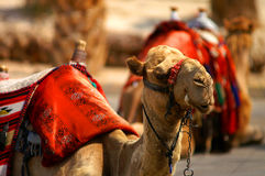 Mr. vintage camel 2. 15 years old authentic camel from the desert of south Israel with traditional decorations of the Bedouin tribesman (Bedouin stock images