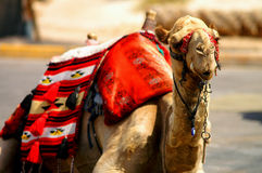 Mr. vintage camel 3. 15 years old authentic camel from the desert of south Israel with traditional decorations of the Bedouin tribesman (Bedouin royalty free stock photo