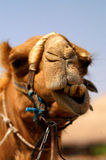 Mr. vintage camel 4. 15 years old authentic camel from the desert of south Israel, with traditional decorations of the Bedouin tribesman (Bedouin stock images