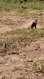 Mr wiewiórka obrazy royalty free