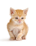 Mr. Wiggles. A tiny yellow kitten sitting on white background Stock Image