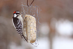 Mr. Woodpecker Royalty Free Stock Photos