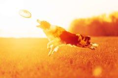 Mramar狗博德牧羊犬跳到在领域的天空 图库摄影