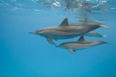 Mère et dauphins juvéniles de fileur dans le sauvage. Photographie stock libre de droits
