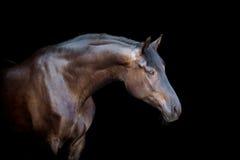 Mörk häst som isoleras på svart Royaltyfri Bild