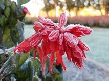 Mroźna czerwona roślina w zimie Zdjęcia Royalty Free