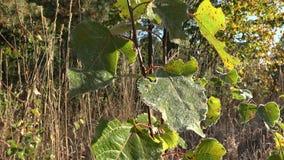 Mroźna młoda drzewo liści glosa w świetle słonecznym w jesieni Handheld 4K zbiory wideo