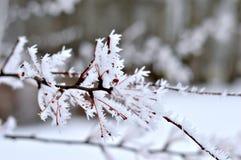Mroźne gałąź drzewo w zimie fotografia stock